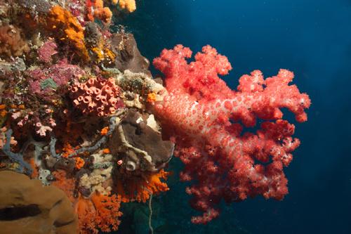 indonesia-wakatobi-pink-soft-corals