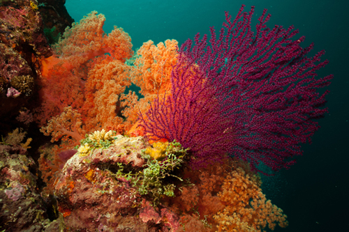 indonesia-wakatobi-virgin-coral