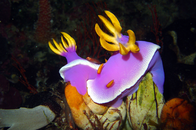 chromodoris-bullocki-labuan-bajo-diving