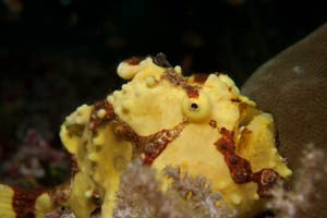 frog-fish-canibal-rock-south-rinja-liveaboard