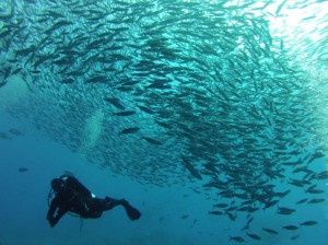 indonesia-komodo-Castle-rock-fusiliers-and-scuba-diver