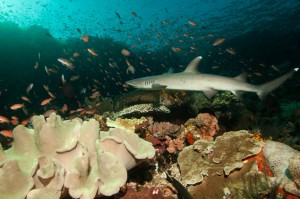 indonesia-komodo-baby-shark-batu-bolong-current-diving