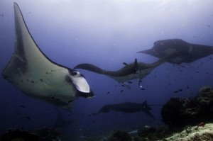 indonesia-komodo-manta-cleaning-station-makassar-reef