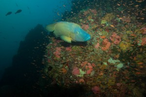 indonesia-komodo-napoleon-batu-bolong-current-diving