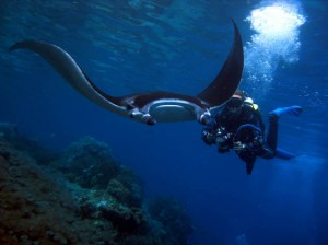 indonesia-komodo-scuba-diving-with-devil-ray-komodo