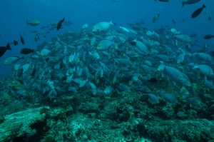 indonesia-komodo-sergeant-fish-school-castle-rock