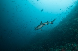 indonesia-komodo-white-tip-shark-castle-rock-komodo (1 of 1)