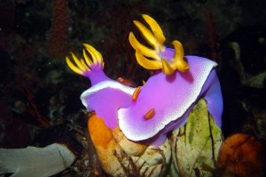 Indonesia-komodo-macro-chromodoris-bullocki-labuan-bajo-diving