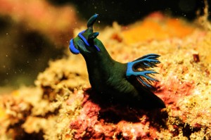 Indonesia-komodo-macro-cromodoris-blue