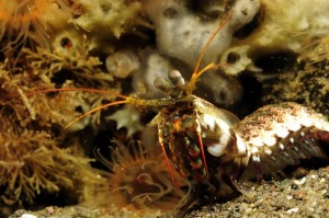mantis-shrimp-bira-sulawesi-dive