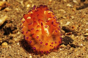 Indonesia-komodo-macro-orange-pink-nudibranch