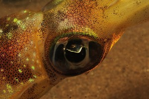 Indonesia-komodo-macro-squid-cephalopods