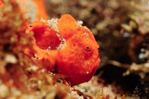 Indonesia-komodo-macro-warty-frogfish-clown-frogfish